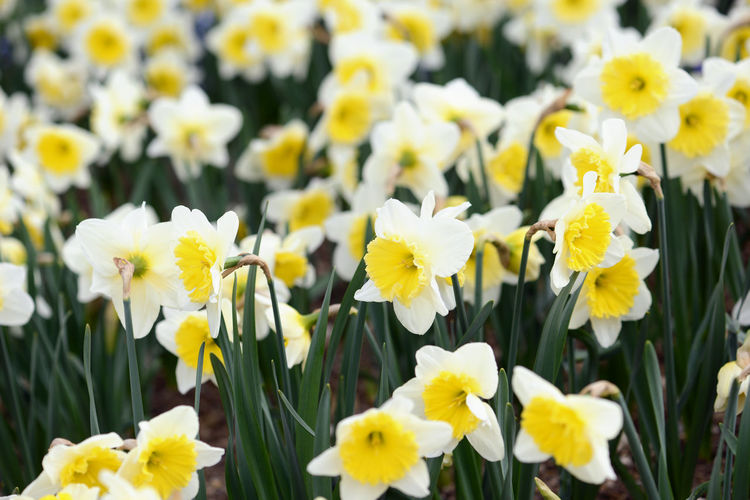 Close-Up Of Daffodils Blooming Outdoors