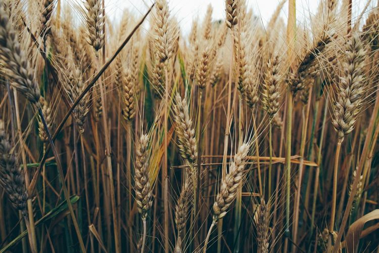 Knäckebrot goes serial ... Cereal Plant Agriculture Plant Crop  Growth Rural Scene Field Landscape Wheat Nature Land Farm Close-up No People Day Brown Beauty In Nature Tranquility Backgrounds Outdoors The Great Outdoors - 2019 EyeEm Awards The Foodie - 2019 EyeEm Awards My Best Photo