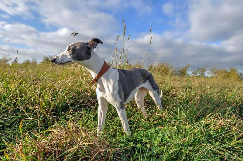 Whippet standing on grassy field against sky