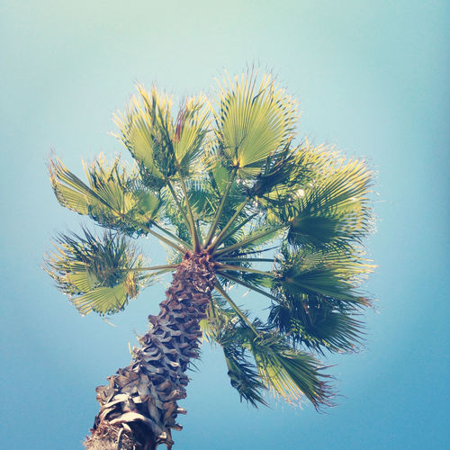 Low angle view of date palm tree against clear blue sky