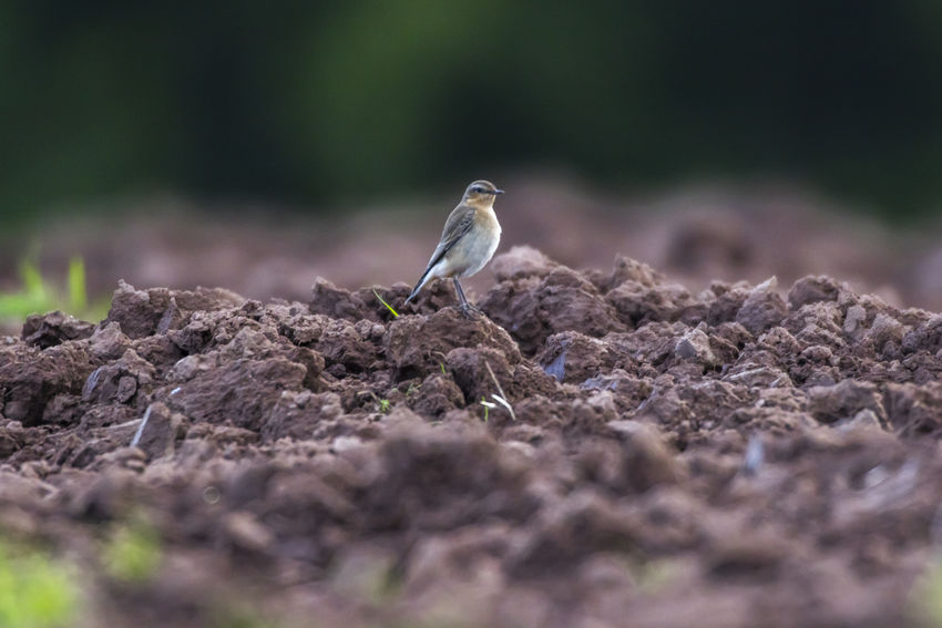 A common wheatear is searching for fodder on a field Beak Field Nature Nature Photography Oenanthe Oenanthe Post Songbird  Animal Animals World Bird Birds Birds Life Birds World Branch Claws Common Wheatear Feather  Feathering Landscape Nature_collection Plumage Singingbirds Wheatear Wildlife