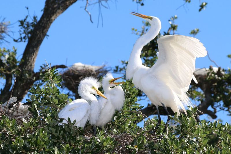 Great Egret Chicks In Nest Floridabirds Close Up Nature Bird Tree Spread Wings Sky Close-up Great Egret Bird Nest Feather  Egret