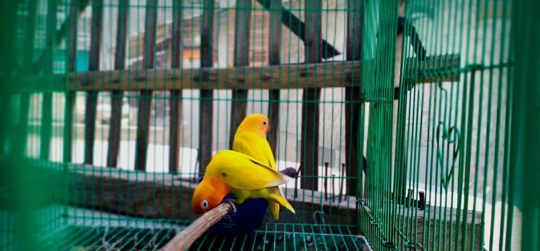 Yellow bird twin