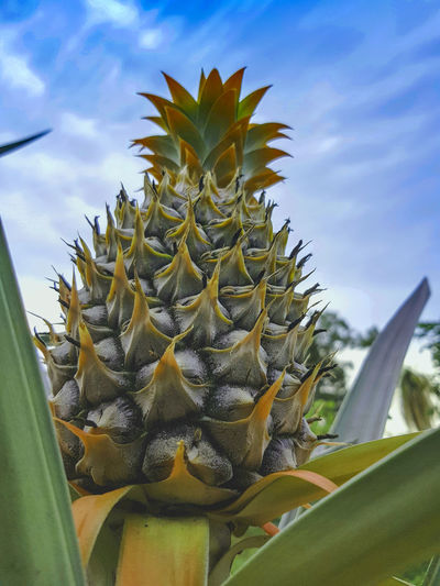 Close-up of sunflower cactus against sky