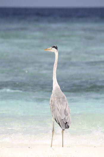 Beautiful heron wondering at the horizon