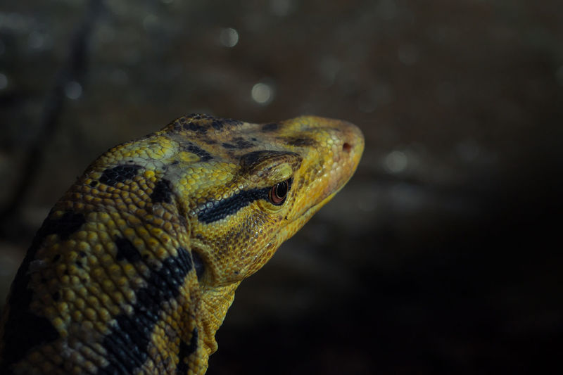 Animal Animal Love Animal Photography Animal Portrait Animal_collection Animallovers Animals Bindenwarane Close Up Close-up Echse Eye4photography  EyeEm Animal Lover EyeEm Best Shots EyeEm Nature Lover From My Point Of View Lizard Reptile Reptiles Warangal