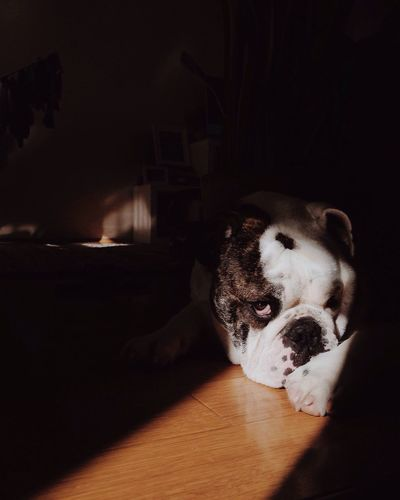 Pets Domestic Animals Dog One Animal Animal Themes Indoors  Mammal Relaxation Home Interior No People Bulldog Australian Bulldog Guilty Look Eyes Puppy Love Puppy Eyes Cute Cute Pets Adapted To The City