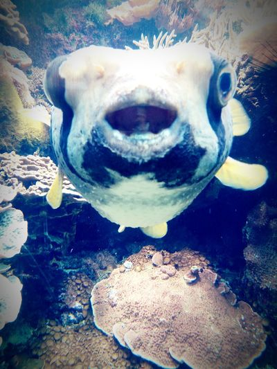 Hey There! Diodon Blue Yellow Fisheye Fish