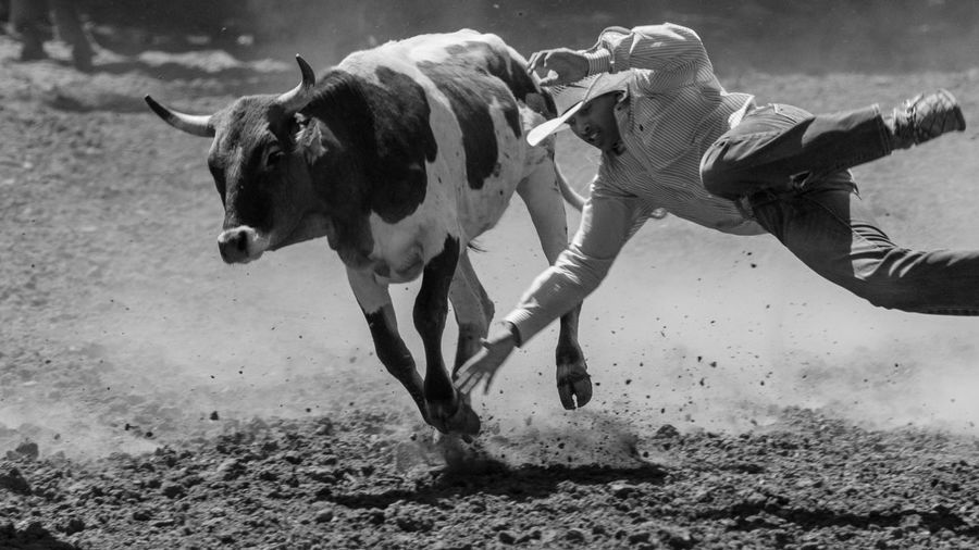 A failed attempt at wrestling the steer Cowboy Horses Man Rodeo Animal Themes Cow Livestock Outdoors Steer Steer Wrestling