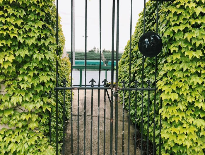 Ivy on the tennis court Tennis Court Tennis Club Plant Green Color Day Growth Nature Fence Boundary Barrier Ivy Security Safety