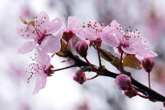 Cherry blossoms on a rainy day. Beauty In Nature Nature Rain Raindrops Macro Close-up Bokeh Branch Twig Cherry Blossoms Spring Springtime Petal Pink Color Delicate Flower Dof Outdoors