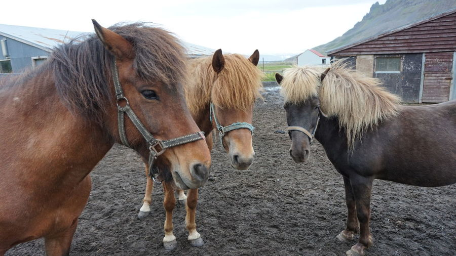 Horses Standing On Muddy Field