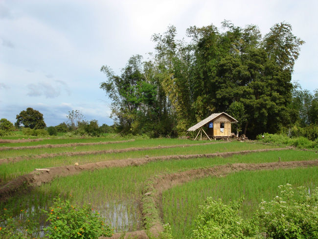 Agriculture Architecture Bamboo Countryside Greens House Landscape Nipa Hut Relaxing Moments Rice Paddy Ricefield Traditional Hut Tranquil Scene Vacation Farm Life Rural Scene Rural Scenes Bamboo Trees Showcase: February