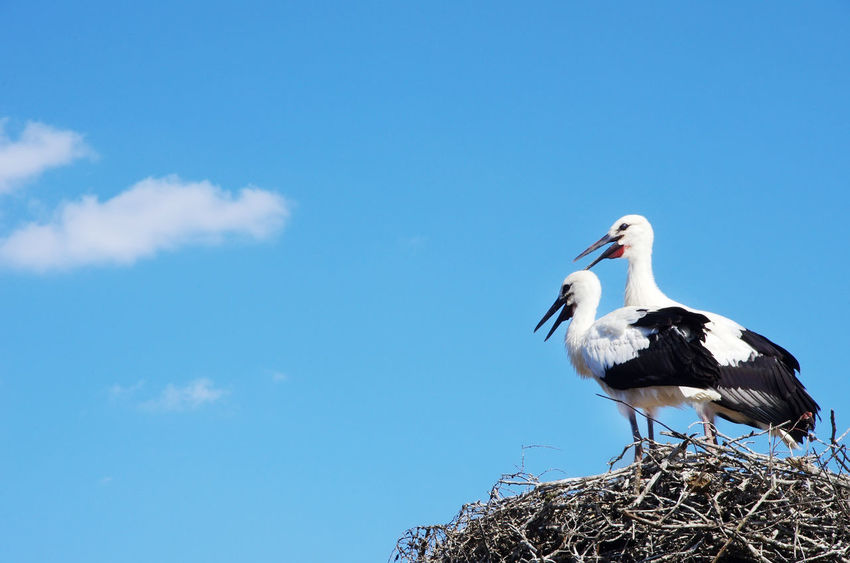 two starks at nest , south of Portugal Animal Animal Nest Animal Wildlife Animals In The Wild Bird Blue Cloud - Sky Sky White Stork