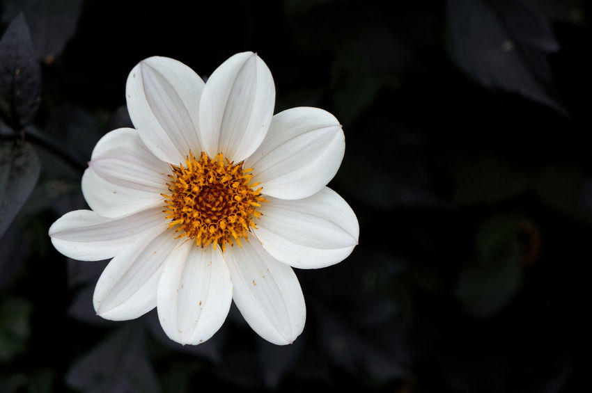 White Dahlia Bloom Blooming Blossom Dahlia Dahlia Pinnata Flora Flowers Garden Dahlia Leaves Nature Orange Plant Shallow Depth Of Field Single-flowered Dahlias White