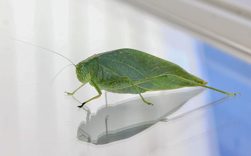 Katydid Insect Photography Macro Insects