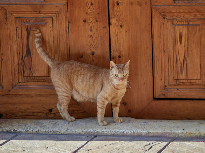 Domestic cat at the door of an old house
