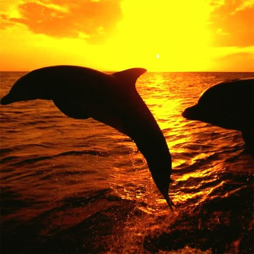 Paint The Town Yellow Sea Animals In The Wild Animal Wildlife Sunset No People Sea Life Nature Horizon Over Water Mammal Water Aquatic Mammal Beauty In Nature Swimming Animal Themes