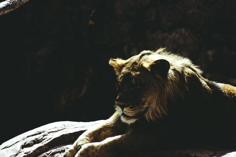 Love Animal Lover Animal_collection Animal Themes Zoo Lion One Animal Animals In The Wild Animal Themes No People Mammal Day Sunlight Close-up Nature Outdoors