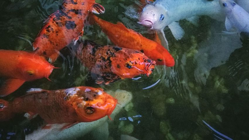 Red koi fish in shallow pond White Red Food Group Fight Concept Underwater Water Animal Themes Swimming Outdoors Nature Maki Fish Koi Koi Fish Carp Fish Pond Hungry Backgrounds Growth High Angle View
