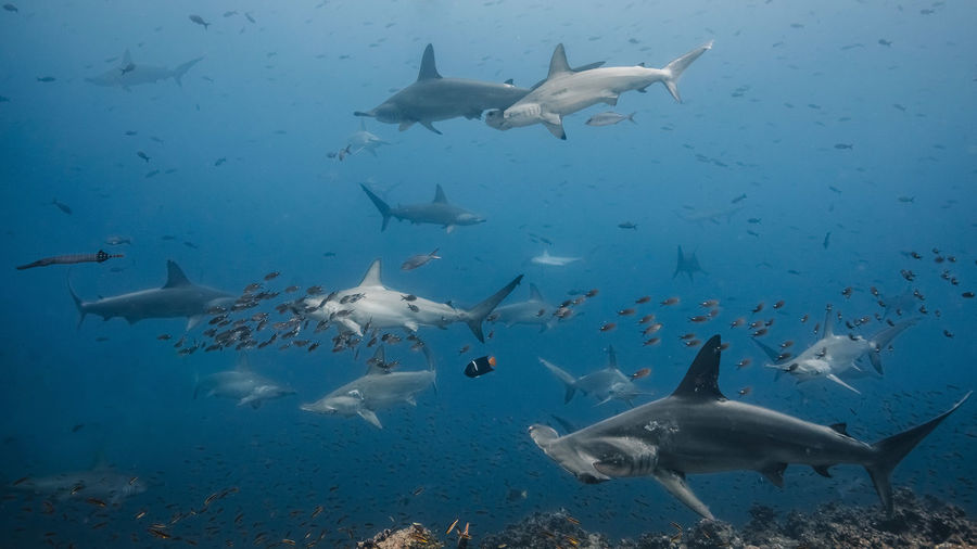 Animals In The Wild Group Of Animals Animal Underwater Sea Animal Themes Animal Wildlife Vertebrate Water Fish Swimming Large Group Of Animals Sea Life Marine Shark UnderSea Nature Blue Motion No People School Of Fish