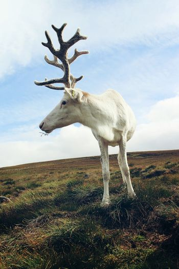Reindeer on grassy field