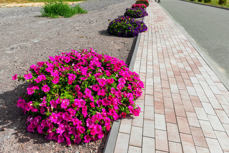 High angle view of pink flowers on footpath