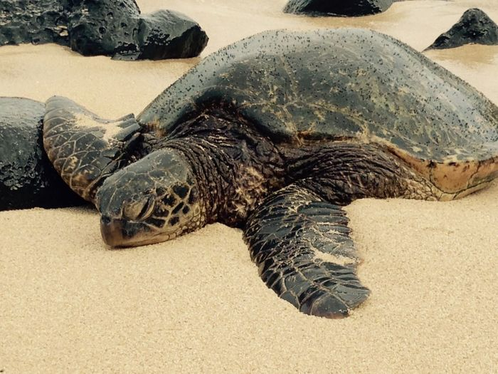 Green turtle at sandy beach