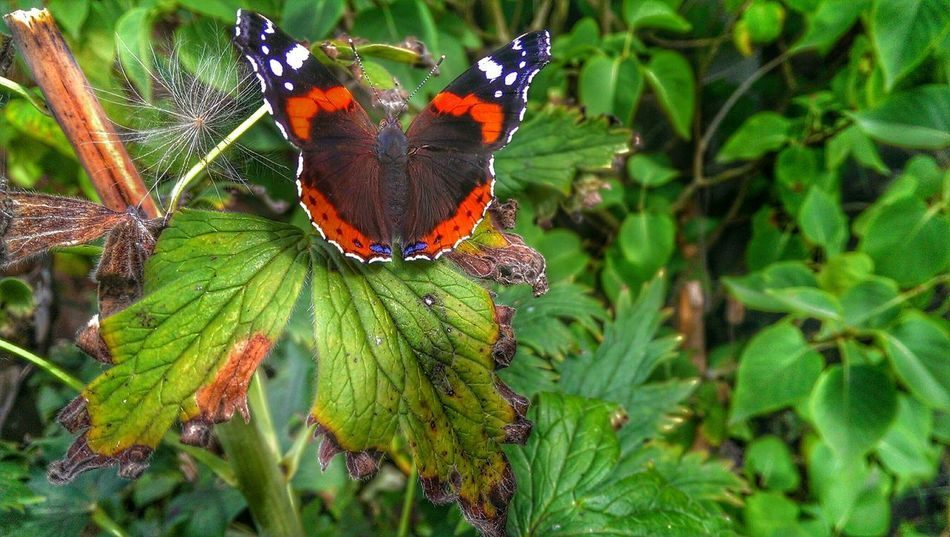 Butterfly ❤ Red Admiral Butterflies Beautiful Nature #rose #beauty #nature #flower #love #eyeem #sun Summer Visitor Nature Photography EyeEmNewHere