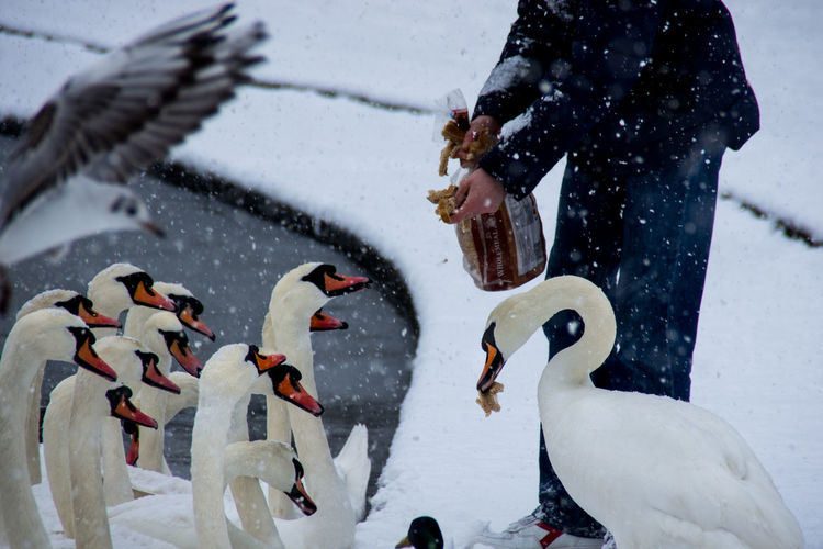 Low section of man feeding swans during snowfall