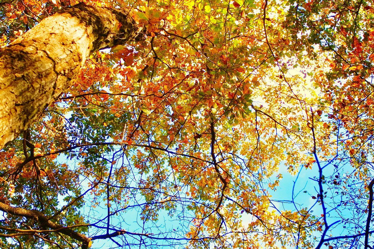 autumn, low angle view, change, tree, nature, beauty in nature, leaf, branch, growth, day, outdoors, no people, full frame, backgrounds, sky, close-up