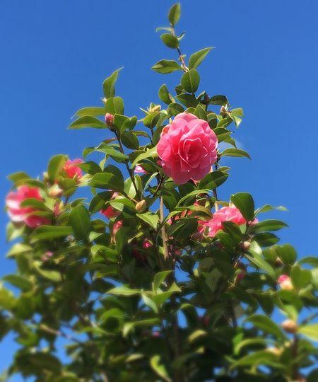 Camellia Pink Flower Blue Sky Green Leaves Springtime