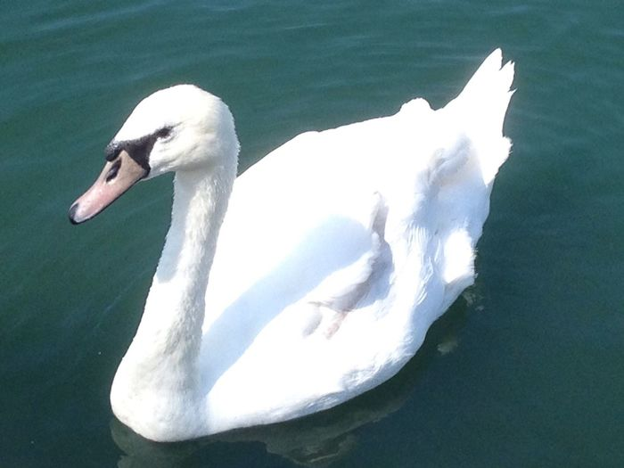 Swans Beauty In Nature EyeEm Best Shots