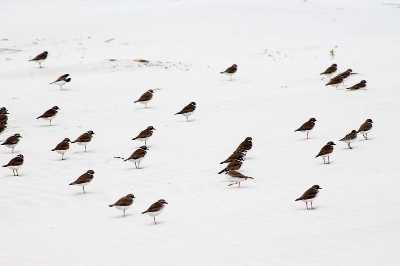 Wilson plovers on snowcapped field during winter