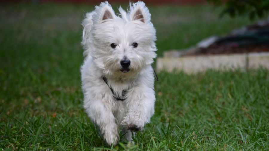 #westhighlandwhiteterrier #westierunning Animal Themes Dog Domestic Animals Field Looking At Camera One Animal Pets West Highland White Terrier Westie Running My Favorite Photo The Essence Of Summer Need For Speed BYOPaper! The Week On EyeEm