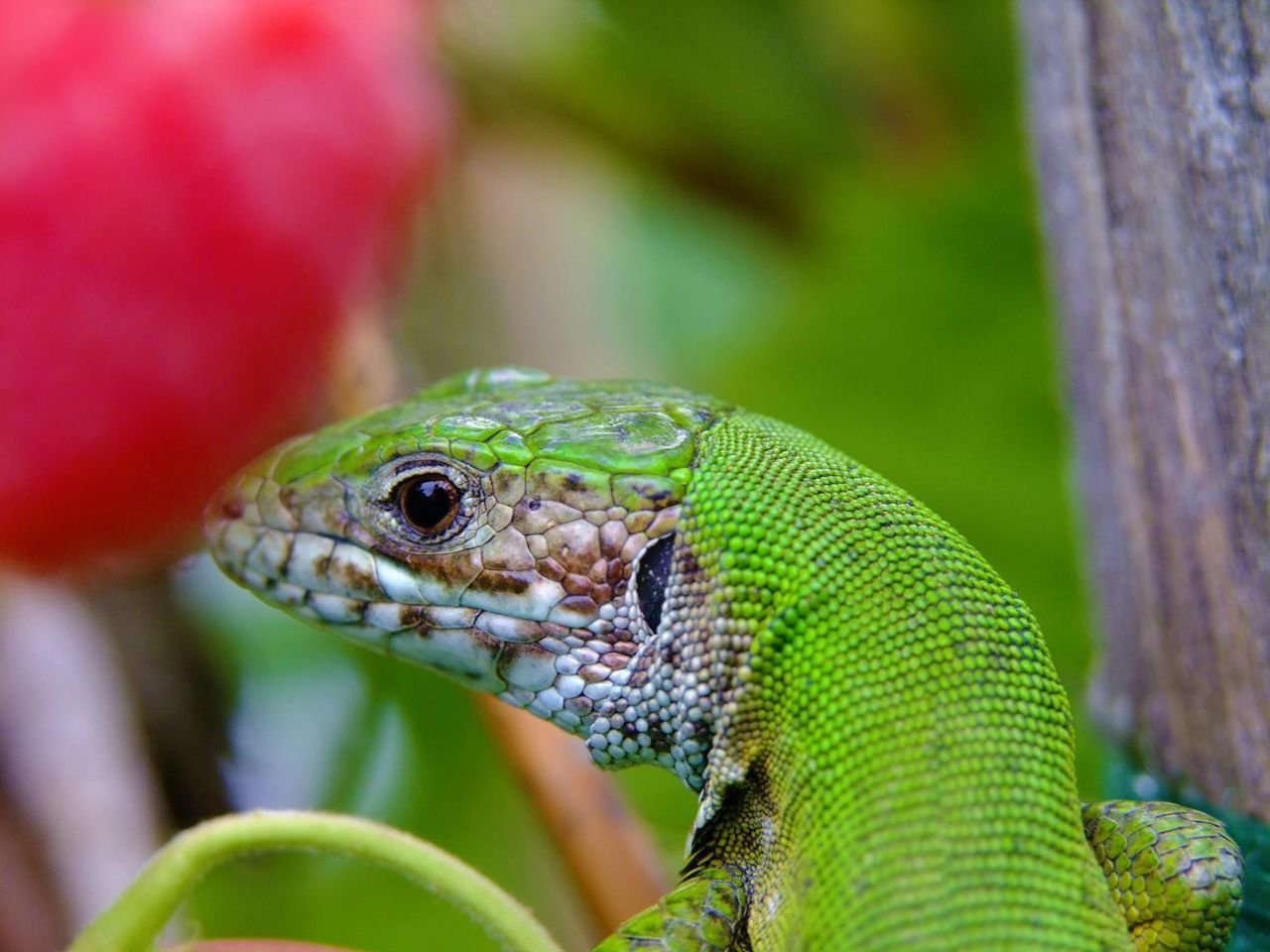 reptile, animals in the wild, one animal, animal themes, green color, animal wildlife, close-up, day, focus on foreground, outdoors, nature, no people
