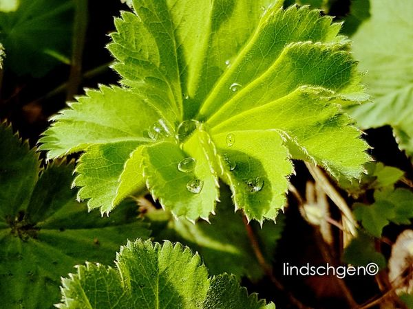 Frauenmantel ❣ Leaf Green Color Beauty In Nature Nature Heilpflanzen 🌾 Heilpflanze Medical Plant Raindrops Berlin Nature EyeEm Best Shots EyeEm Best Shots - Nature Nature In Beauty EyeEmBestPics EyeEm Nature Lover Beauty In Nature EeYem Best Shots Glücklich Berlin Photography Green Outdoors