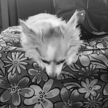 Please Don't Go Long Goodbye Lonely Loneliness Please Don't Go Imissyou Emotions Heartbreak Upset Goodbye Don't Leave Me Sad Sadness Chihuahua Long Hair Longhairedchihuahua Blackandwhite Dog Puppy Love