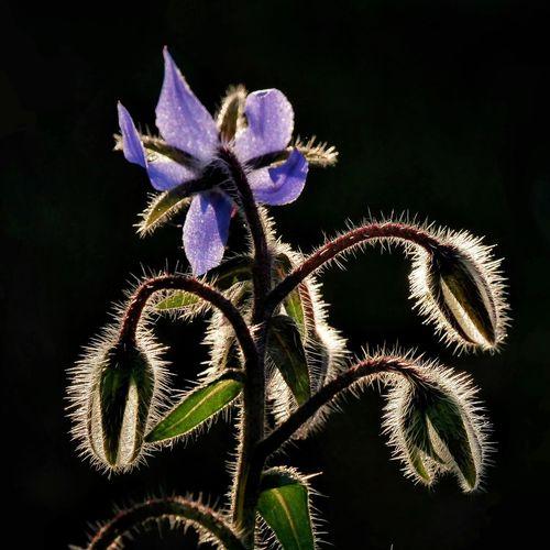 Starflowers