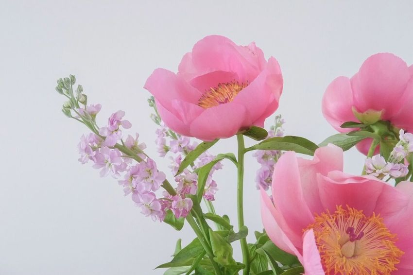 Roses of may Flower Pink Color Fragility Beauty In Nature Petal Freshness No People Flower Head Nature Studio Shot Close-up White Background Plant Growth Indoors  Day