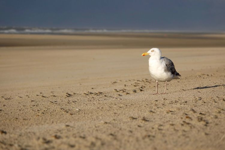 Seagull at the beach on a stormy day Copy Space North Sea Coast Animal Animal Themes Animal Wildlife Animals In The Wild Beach Bird Day Evening Germany Land Looking Nature No People Norderney North Sea One Animal Outdoors Sand Sea Seagull Selective Focus Side View Wattenmeer