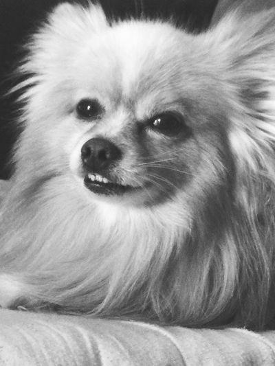 Pomeranians Funny Dogs  I Love My Dog