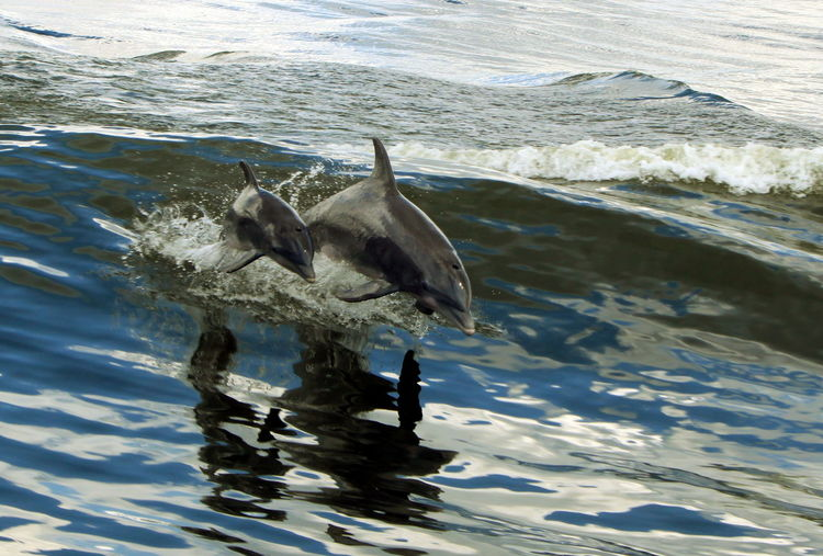 mama dolphin and baby Animal Themes Animals In The Wild Beauty In Nature Dolphins High Angle View Outdoors Rippled Sea Water Water Surface Wildlife