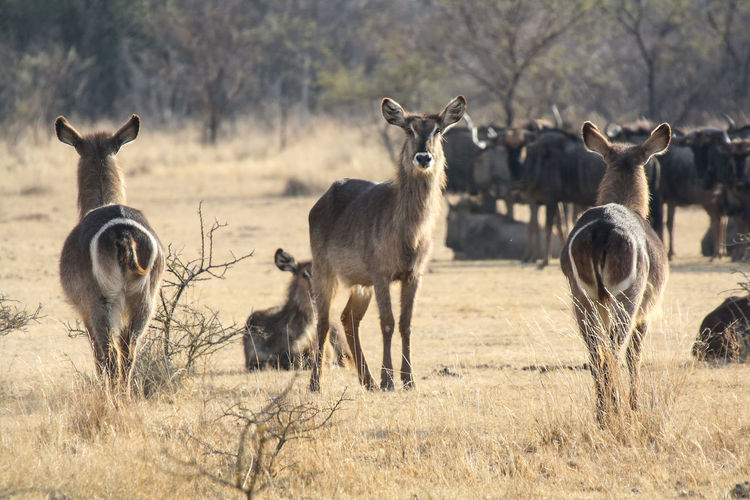 Waterbuck in south africa
