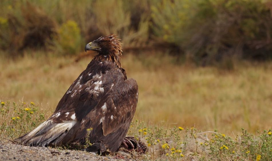 Golden Eagle protecting kill Roadkill Dead Kill Prey Golden Eagle Wyoming Wildlife Wyoming Wyoming Landscape Animals In The Wild Animal Themes Bird Animal Animal Wildlife One Animal Vertebrate Focus On Foreground Plant Day Land Nature No People Grass Outdoors Bird Of Prey Side View Full Length