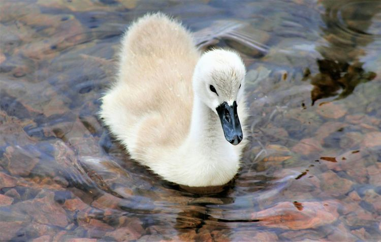 Bird Animal Themes Young Bird Water Swimming Nature_collection Birds Of EyeEm  Bird Photography Norwaynature Birds Of EyeEm  Eyem Gallery Animal_collection Cute Close Up Waterfront Cygnet Lake No People Young Animal Outdoors Premium Collection Premium Day Swan Nature The Portraitist - 2017 EyeEm Awards