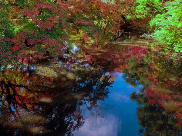 紅葉 金鱗湖 日本 Autumn Change Leaf Tree Nature Reflection Water Beauty In Nature Tranquil Scene Growth Tranquility No People Day Scenics Lake Outdoors Multi Colored