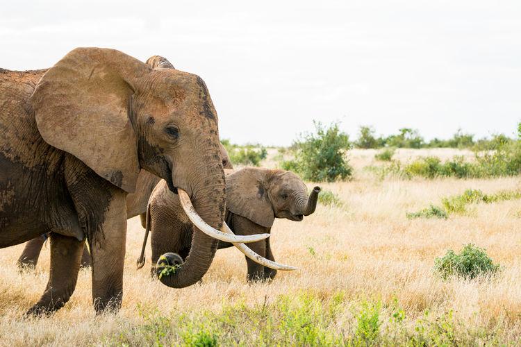 Elephants On Grassy Field