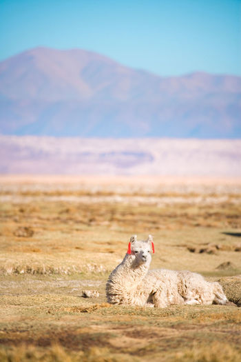 View of alpaca sitting on land