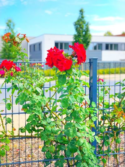 Red rose Plant Architecture Building Exterior Built Structure Flower Growth Building Nature Flowering Plant Freshness Day Red